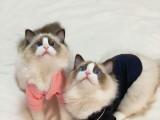 猫舍繁殖精品高品质布偶热卖中欢迎选购