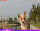 哪里有柯基犬出售多少钱,柯基犬的照片