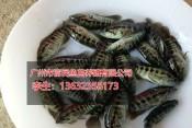 广州信誉好的鱼苗供应商推荐湖南白鲳鱼苗