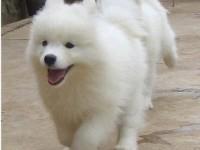广州最大狗场 萨摩耶犬等品种三百起 特价直销世界名犬