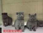 南充酷宠宠物店现货大量极品蓝猫宝宝出售中