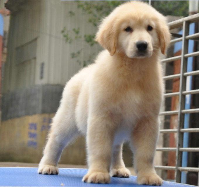 大骨架金毛幼犬,公母都有,包健康包纯种,来带800