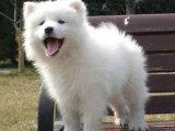 微笑天使萨摩耶 健康有保障 可爱迷人快来带走