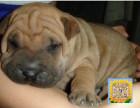 精品纯种沙皮,优选培育强健幼犬,确保健康