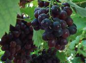 吉林京亚葡萄苗 出售松原葡萄苗