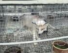 精品宠物狐狸出售 品种好 价格低