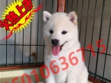 专业繁殖--日系柴犬--种公外配--成年犬出售