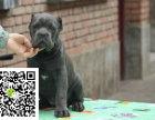 在哪里买纯种的卡斯罗幼犬 卡斯罗幼犬最低多少钱