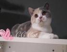 【CC.CAT猫舍】专业繁育花色英短