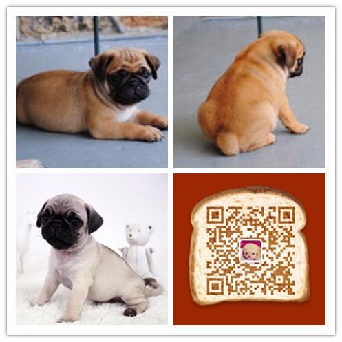 纯种巴哥犬价格 杭州哪里卖八哥犬 多少钱
