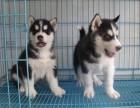 哪里有卖纯种哈士奇幼犬的 哈士奇 纯种 三个月