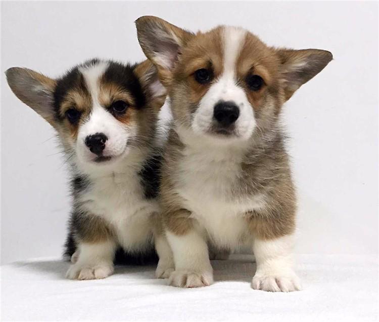 精品纯种两色三色 柯基幼犬 出售 批发零售均可健康