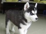 泉州养殖基地直销哈士奇犬及其它幼犬 签协议 送用品