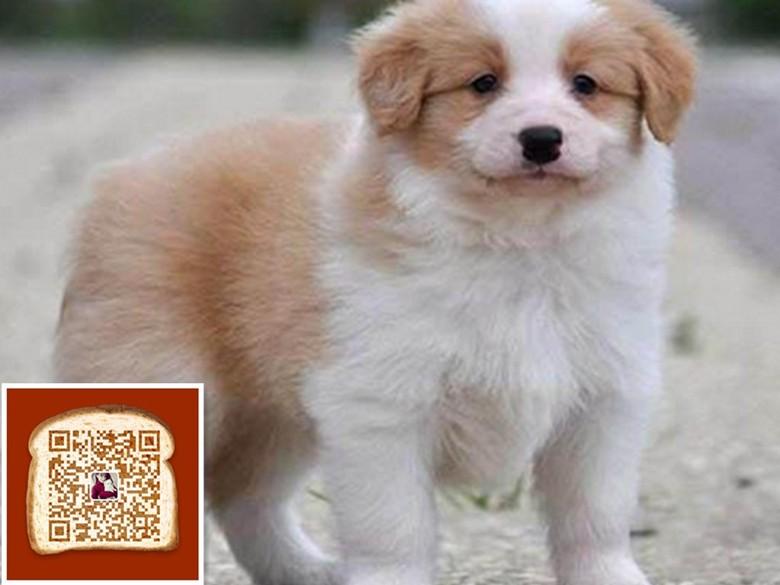 武汉出售帅气边境牧羊犬 七白到位 黑白 咖啡 陨石的均有