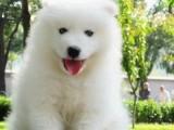 深圳龙岗哪有萨摩耶犬卖 深圳宝安哪有萨摩耶犬卖