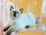 猫舍直销出售纯种 暹罗 品种齐全 全国统一批发价