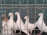 出售俄罗斯头型鸽(黑、白、黄)观赏鸽价格