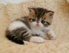 纯种 赛级 加菲猫 北京实体猫舍 专业繁殖 多窝可选