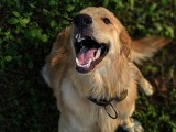 上海本眾寵物醫院知識分享 狗狗疫苗間隔時間