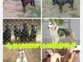 莱州红犬 苏联红犬 狼青犬 德牧犬 杜高犬 卡斯罗犬 比特犬