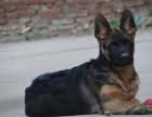 自己繁殖德国牧羊犬 基地直销 血统纯 包健康 签协议