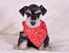 出售犬舍繁殖纯种雪纳瑞幼犬丨现场可见父母,保证健康