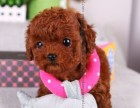 徐汇区哪有泰迪犬卖 徐汇区泰迪犬价格 徐汇区泰迪犬多少钱