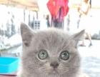 自家便宜出售纯品种蓝猫
