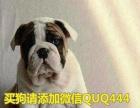 本地区常年批发零售精品柯基斗牛幼犬价格合理花色齐全。