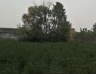 白皮松朱师傅 2万棵 占地树 价格低 量大