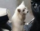 家养的银狐犬,狐狸犬转让