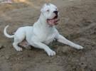 精品杜高 干野猪的猎犬品种纯正 价格亲民 自家养殖包健康
