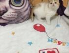 贵阳本地注册猫舍纯种红白加菲
