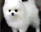 小短体球形博美哈多利俊介 毛厚实 鼻子短 实狗拍摄
