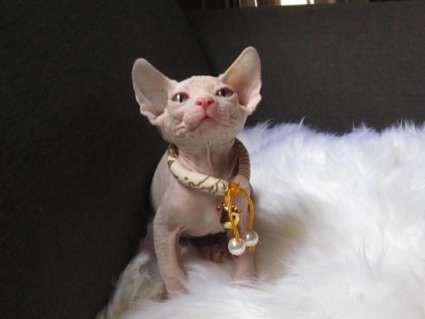 纯种无毛猫出售 疫苗做齐 终身质保签协议