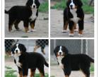 品质伯恩山犬多少钱 精品伯恩山犬价格 伯恩山犬繁殖