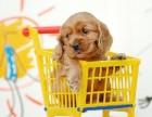杭州那里有可卡犬卖 杭州可卡犬价格 杭州可卡犬多少钱