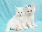 低价出售波斯猫一窝,高品质英短蓝白 重点色可上门
