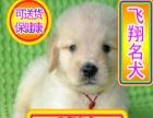 优选犬舍   送货上门专业繁殖大头金毛幼犬签售后协议可见父母