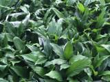 深圳穗明园艺有限公司一家专做鲜花绿植的公司