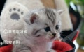 可爱大眼甜美美短虎斑,粘人美腻小猫咪