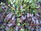 油茶树苗出售,油茶苗木质量规程,茶树苗品种