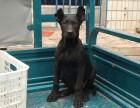 两三个月黑狼犬价格是多少 黑狼犬幼犬好喂养吗
