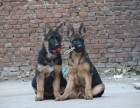 专业繁殖高品质锤系黑背幼犬-保纯种 健康 协议