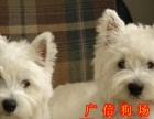惠州可爱又迷人西高地幼犬 西部高地白梗宝宝 贵族般气质