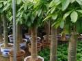 光明新区公明松岗沙井绿植租摆,园林绿化,各种花卉花场直销