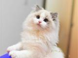 家养纯种布偶猫英短美短加菲蓝猫蓝白折耳立耳可上门挑