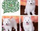 重庆犬舍出售萨摩耶幼犬 公母都有 纯种健康 有喜欢的联系