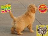 哪里出售金毛犬 纯种金毛犬多少钱
