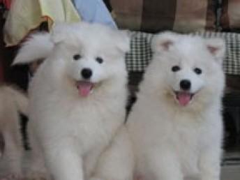 精品血统萨摩耶幼犬出售 佛山哪里有精品萨摩耶幼犬出售